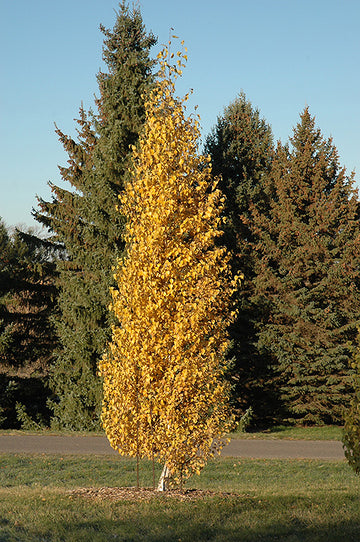 Betula Platyphylla 'Fargo' - Dakota Pinnacle® Birch