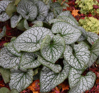 Brunnera macrophylla 'Jack of Diamonds' - Jack of Diamonds Heartleaf Bugloss