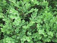 Buxus  Microphylla 'Winter Beauty' Pyramid - Winter Beauty Korean Boxwood Pyramid