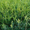 Buxus x 'Green Gem' - Green Gem Boxwood