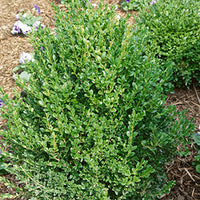 Buxus X 'Green Mountain' - Green Mountain Boxwood