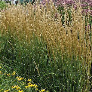 Calamagrostis Acutiflora 'Karl Foerster' - Feather Reed Grass