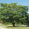 Celtis Occidentalis - Common Hackberry
