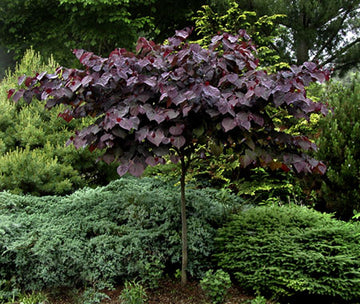 Cercis canadensis 'Forest Pansy' - Forest Pansy Redbud