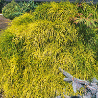 Chamaecyparis Pisifera 'Golden Mops' - Golden Mops False Cypress