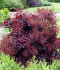 Cotinus Coggygria 'Lilla' - Dwarf Purple Smoke Bush