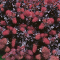 Cotinus Coggygria 'Royal Purple' - Royal Purple Smoke Bush