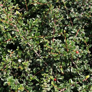 Cotoneaster Dammeri 'Coral Beauty' - Coral Beauty Cotoneaster