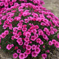 Dianthus 'Paint the Town Fancy' - Paint the Town Fancy Dianthus