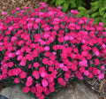 Dianthus 'Paint the Town Magenta' - Paint the Town Magenta Dianthus