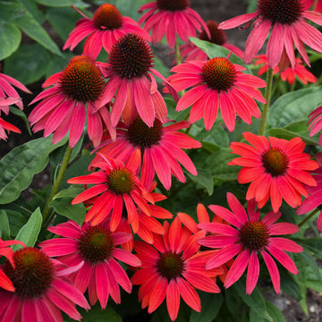 Echinacea hybrid Lakota™ Fire - Lakota™ Fire Coneflower