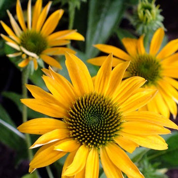 Echinacea Purpurea 'Mellow Yellows' - Mellow Yellows Coneflower