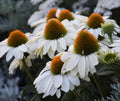 Echinacea 'The Price is White' - Color Coded™ The Price is White Coneflower