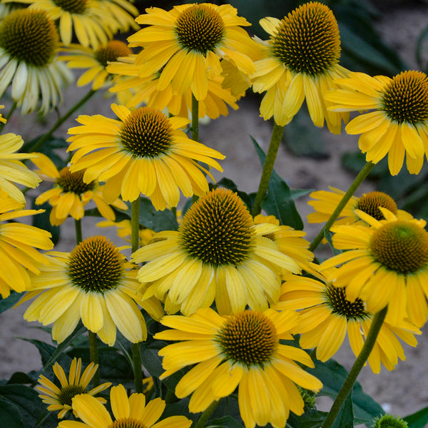 Echinacea 'Yellow My Darling' - Color Coded™ Yellow My Darling Coneflower