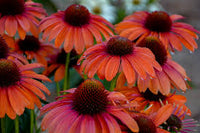 Echinacea hybrid  'Orange You Awesome' - Color Coded™ Orange You Awesome Coneflower