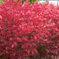 Euonymus Alatus - Burning Bush