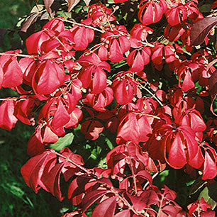 Euonymus Alatus 'Odom' - Little Moses® Burning Bush
