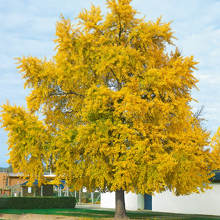 Ginkgo biloba - Maidenhair Tree