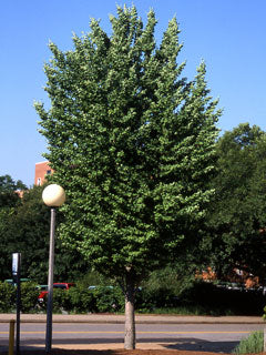Ginkgo Biloba 'JFS-UGA2' - Golden Colonnade Maidenhair Tree