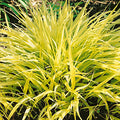 Hakonechloa Macra 'All Gold' - All Gold Japanese Forest Grass