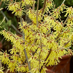 Hamamelis Virginiana - Common Witchhazel