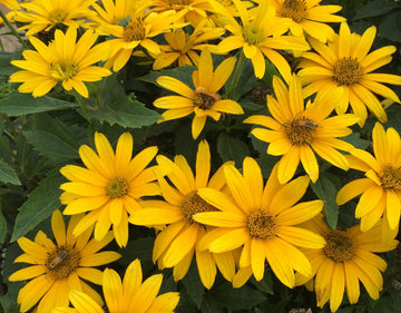 Heliopsis helianthoides 'Tuscan Gold' - Tuscan Gold™ False Sunflower