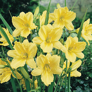 Hemerocallis 'Happy Returns' - Happy Returns Daylily