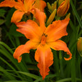 Hemerocallis 'Primal Scream' - Rainbow Rhythm® Primal Scream  Daylilly