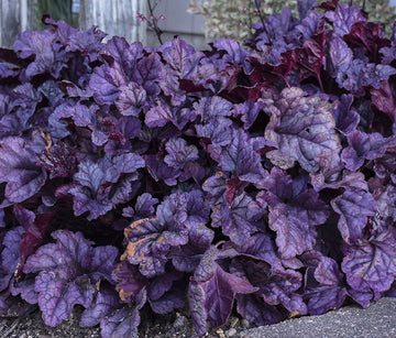 Heuchera 'Wildberry' - Dolce® Wildberry Coral Bells