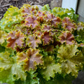 Heuchera 'Apple Twist' - Dolce® Apple Twist Coral Bells