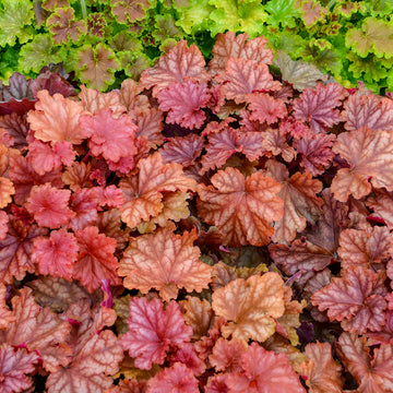 Heuchera 'Peachberry Ice' - Primo® Peachberry Ice Coral Bells