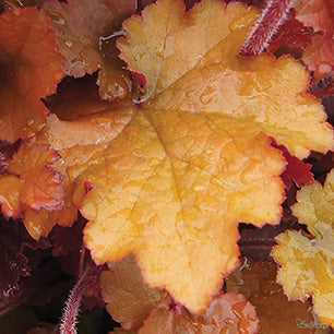 Heuchera 'Sunrise' - Heuchera 'Sunrise'