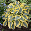 Hosta hybrid Shadowland® 'Autumn Frost' - Shadowland® Autumn Frost Hosta
