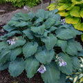 Hosta Shadowland® 'Diamond Lake' - Shadowland® Diamond Lake Hosta