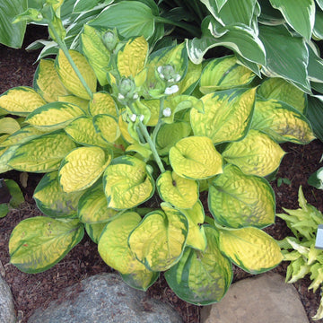 Hosta 'Rainforest Sunrise' - Rainforest Sunrise Hosta