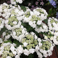 Hydrangea Macrophylla 'Dancing Snow' - Wedding Gown Double Delights™ Hydrangea