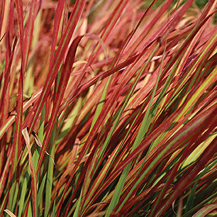 Imperata Cylindrica 'Red Baron' - Japanese Blood Grass