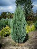 Juniperus scopulorum 'Moonglow' - Moonglow Juniper