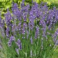 Lavandula Angustifolia 'Armtipp01' - Big Time Blue Lavender
