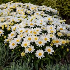 Leucanthemum x superbum 'Spoonful of Sugar' - Spoonful of Sugar Shasta Daisy