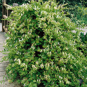 Lonicera Japonica 'Hall's Prolific' - Hall's Prolific Honeysuckle