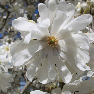 Magnolia stellata 'Royal Star' Shrub Form - Royal Star Magnolia