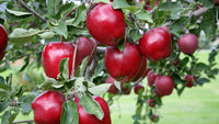 Malus Red Delicious - Red Delicious Dwarf Apple