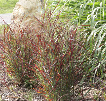 Panicum Virgatum 'Hot Rod' - Hot Rod Switch Grass