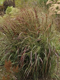 Panicum Virgatum 'Prairie Flame' - Prairie Flame Switch Grass