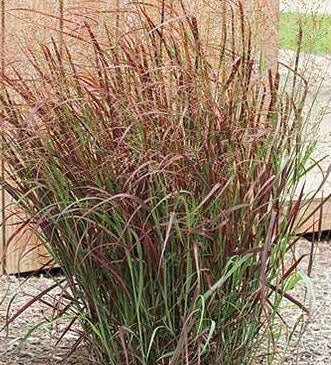 Panicum Virgatum 'Purple Breeze' - Purple Breeze Switch Grass