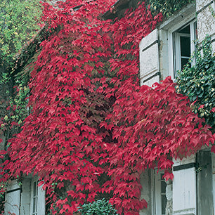 Parthenocissus Tri.'Veitchii' - Boston Ivy