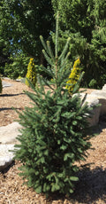 Picea Glauca 'North Pole' - North Pole White Spruce