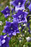 Platycodon 'Astra Double Blue' - Astra Double Blue Balloon Flower
