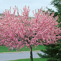 Prunus triloba 'Multiplex' Treeform - Double Flowering Almond Treeform